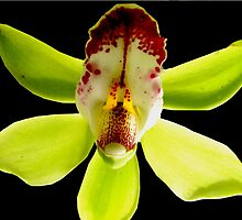 Nana Banana - A New Perspective on Orchid Life by ©Ashley Edmonds Cooke
