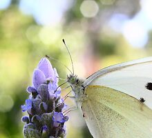 Megalong Valley Garden..Small White by Ann Barnes