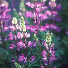Lupins, Fort Dick, California by Valarie Napawanetz
