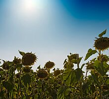 Sunflowers by oreundici