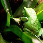 Waxy Monkey Frog by Laurel Talabere