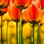 Garden of Tulips by Claudia Kuhn