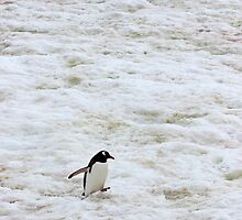 "Gentoo Penguin ~ ""It's a long walk home"" by Robert Elliott"