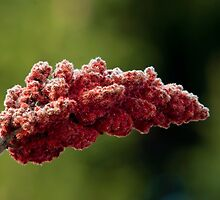 Laciniata Fruit Drupes of the Staghorn Sumac - Rhus typhina (hirta) L by Gene Walls
