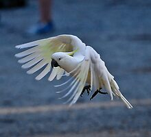 Sulphur Crested in Flight by Tom Newman