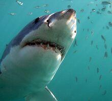 Great White Shark - South Africa by Sean Elliott