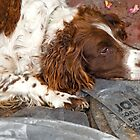 Springer Spaniel at rest by Dave  Knowles