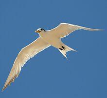Swift Tern in Flight by Juan  Venter