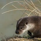 Otter (lutra lutra) by FoxfireGallery / FloorOne Photography
