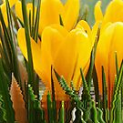 Spring Yellow by Eugenio