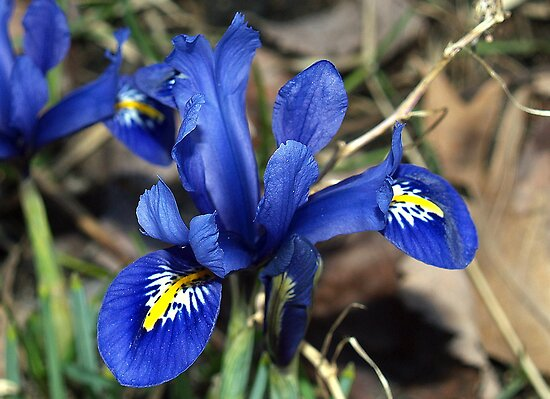 Blue Miniature Iris by BarbL