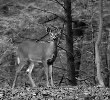 White-Tailed Deer by GregScheckler