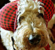 Silly Head- Soft Coated Wheaten Terrier by Jackie Fink