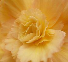 Begonia - 16 by beeden