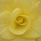 Begonia by beeden