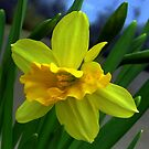 Fresh New Yellow Narcissus by ienemien