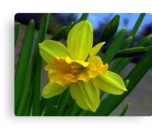 Fresh New Yellow Narcissus Canvas Print