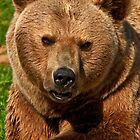 Brown Bear (Ursus arctos) by Konstantinos Arvanitopoulos