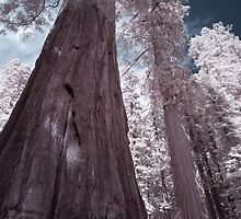 Giant Sequoias, Giant Forest, Sequoia National Park by Chris Tarling