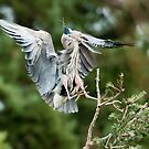 Heron Landing in the Rookery by David Friederich