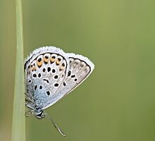 Common Blue, polyommatus icarus by pogomcl