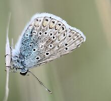 Escher's Blue, polyommatus escheri by pogomcl