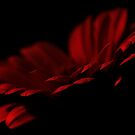 Gerbera in Darkness by Stas Medvedev