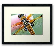 Four-spotted Chaser wings, Libellula quadrimaculata on photographer's finger Framed Print