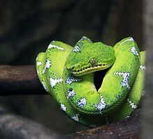 Emerald Tree Boa by BillK