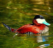 Ruddy Duck by Angela Pritchard