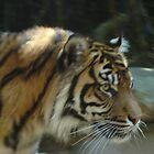 Sumatran Tiger by Mark Kent