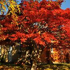 Fiery Maple, Wandiligong by bevanimage