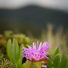 Native Pigface - South East Cape, Tasmania by Liam Byrne