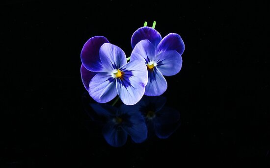 Pansies Blue by Tom Newman