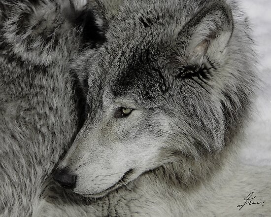 Unperturbed Timber Wolf by DigitallyStill
