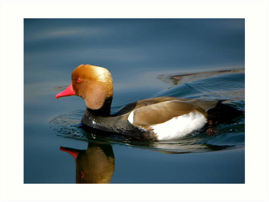 Red-crested Pochard by mamba