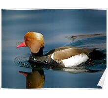 Red-crested Pochard Poster