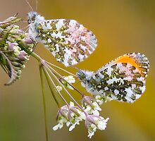 Male Orange-tip Butterflies by Neil Bygrave (NATURELENS)