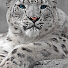 Snow Leopard Portrait by HadleyWildlife