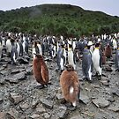 King Penguins and their Furry Chicks by Janette Rodgers
