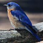 Eastern Bluebird  by Bill Miller