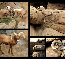 Bighorn Sheep ~ Collage by Kimberly Chadwick