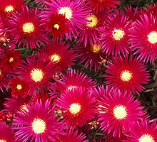 Daisies, Red and Pink by Bev Pascoe