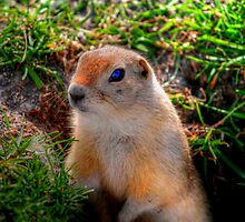 RICHARDSON GROUND SQUIRREL by Larry Trupp