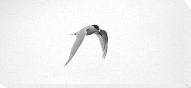 Tern in flight by Andrew Bennett