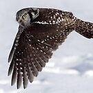 Nothern Hawk Owl Fly BY by Gary Fairhead