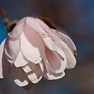 Star Magnolia Blossom Bloom by Dave Bledsoe