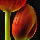 Tulipano by jimmylu