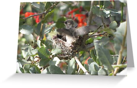 Costa's Hummingbirds ~ Preparing to leave by Kimberly Chadwick