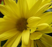 Yellow Sweep Daisy by MarianBendeth